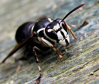 Bald Faced Hornet Image Credit P Namek Wikimedia Commons